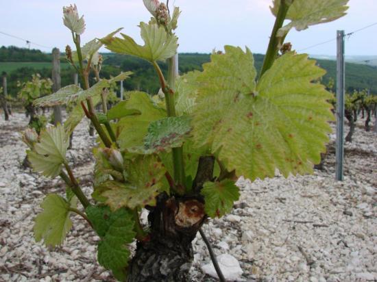 Maladie de la vigne